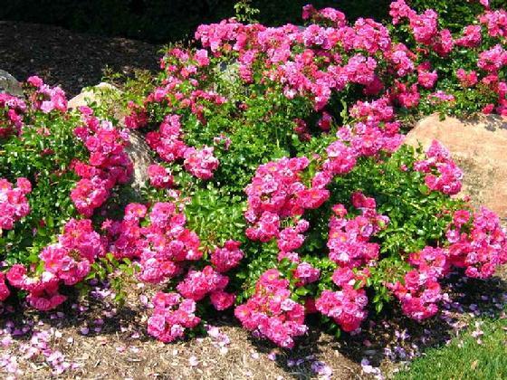 560_roses